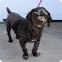 Poodle (Miniature) Mix Dog for adoption in Charlotte, North Carolina - Wally