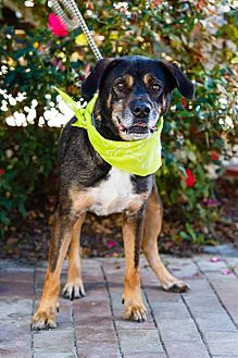 Shepherd (Unknown Type) Mix Dog for adoption in Windsor, Virginia - B.J.