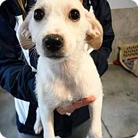 Adopt A Pet :: Millie - Eugene, OR