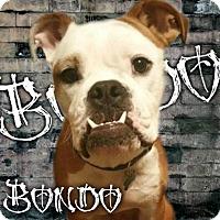 Adopt A Pet :: Bondo-Adoption pending - Des Moines, IA