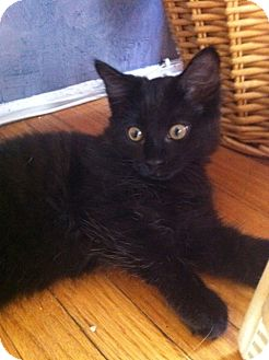 Domestic Longhair Cat for adoption in Los Angeles, California - Panido-playful baby girl