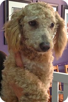 Poodle (Miniature) Mix Dog for adoption in Thousand Oaks, California - Wilbert