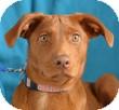 Retriever (Unknown Type) Mix Dog for adoption in Minneapolis, Minnesota - Malcolm