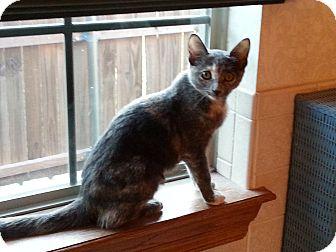 Domestic Shorthair Kitten for adoption in Yukon, Oklahoma - Prentice