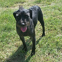Terrier (Unknown Type, Small)/Schnauzer (Standard) Mix Dog for adoption in San Antonio, Texas - Kevin Bacon