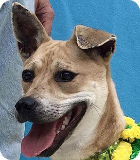 Boxer/Labrador Retriever Mix Dog for adoption in Evansville, Indiana - Remi