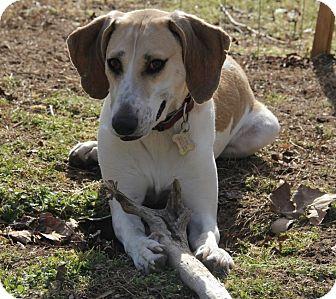 Coonhound/Labrador Retriever Mix Dog for adoption in Hayes, Virginia - Leena