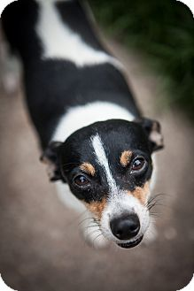 Rat Terrier Mix Dog for adoption in Fort Atkinson, Wisconsin - Newport