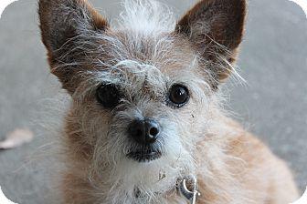 Norwich Terrier Mix Dog for adoption in Brattleboro, Vermont - Roxy