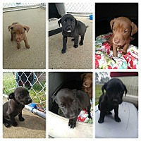 Adopt A Pet :: 6 Puppies - New Haven, CT
