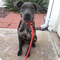 Adopt A Pet :: Marvin - Chandler, AZ