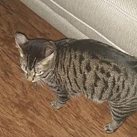 Domestic Mediumhair Cat for adoption in San Antonio, Texas - Oliver
