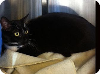 Domestic Shorthair Cat for adoption in Secaucus, New Jersey - Sebastian