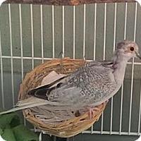 Adopt A Pet :: Isaac - Lenexa, KS