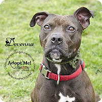 Pit Bull Terrier Dog for adoption in Bedford, New York - Devenna