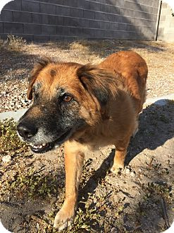 Chow Chow Mix Dog for adoption in Las Vegas, Nevada - Ginger 1