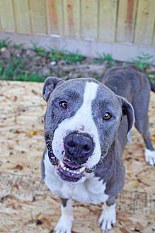 American Bulldog/Pit Bull Terrier Mix Dog for adoption in Hankamer, Texas - BoBo