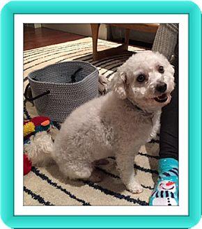 Bichon Frise Dog for adoption in Tulsa, Oklahoma - Adopted!!Ziggy - IL