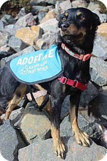 Miniature Pinscher/Shepherd (Unknown Type) Mix Dog for adoption in Westminster, Colorado - Summer
