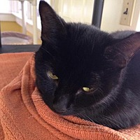 Domestic Shorthair Cat for adoption in Port Clinton, Ohio - Friday