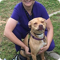 American Pit Bull Terrier Mix Dog for adoption in Euless, Texas - Elsa