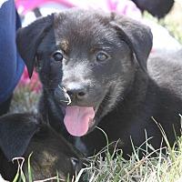 Adopt A Pet :: Lil Kim - Hooksett, NH