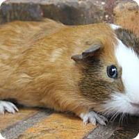 Adopt A Pet :: Sheldon - Benbrook, TX