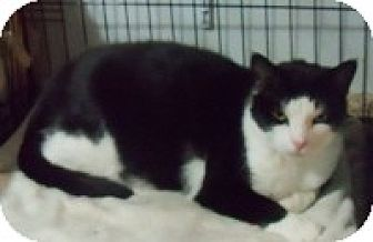 American Shorthair Cat for adoption in Medford, New York - Sylvester