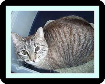 Siamese Cat for adoption in Medford, Wisconsin - SUGAR