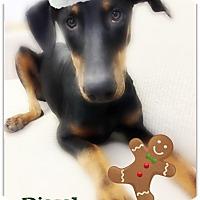 Adopt A Pet :: Diesel - Pascagoula, MS