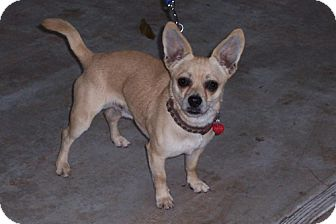 Chihuahua Mix Dog for adoption in San Jose, California - Victor
