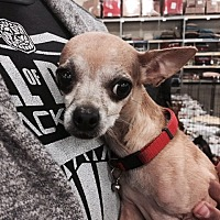 Chihuahua Mix Dog for adoption in Fresno, California - Baby