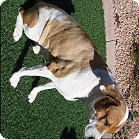Adopt A Pet :: Boba - Gilbert, AZ