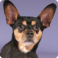 Miniature Pinscher/Corgi Mix Dog for adoption in Chicago, Illinois - Manny