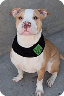 Pit Bull Terrier Mix Puppy for adoption in Union Beach, New Jersey - Rocky