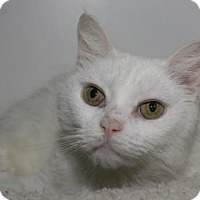 Domestic Shorthair Cat for adoption in Venice, Florida - Shimmer