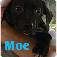 Adopt A Pet :: Moe - Holmes Beach, FL