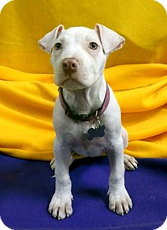 Terrier (Unknown Type, Medium) Mix Puppy for adoption in Detroit, Michigan - Pinky-Adopted!