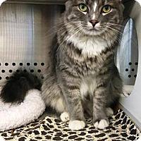 Adopt A Pet :: Kat- Large -Adoption Pending - Arlington, VA