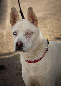 Siberian Husky Mix Dog for adoption in Cedar Crest, New Mexico - Titan
