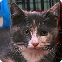 Adopt A Pet :: Triscuit - Mount Laurel, NJ