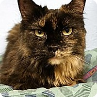Domestic Mediumhair Cat for adoption in Freeport, New York - Marsha