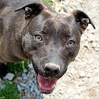 Labrador Retriever/Pit Bull Terrier Mix Dog for adoption in Memphis, Tennessee - Tula