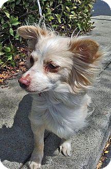 Pomeranian Mix Dog for adoption in San Jose, California - Nova