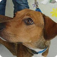 Adopt A Pet :: Nugget - Erwin, TN