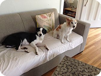 Border Collie Mix Dog for adoption in Tempe, Arizona - Billie