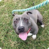 American Staffordshire Terrier/Terrier (Unknown Type, Medium) Mix Dog for adoption in Troy, Michigan - Smurf