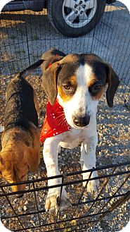 Beagle/Terrier (Unknown Type, Small) Mix Dog for adoption in Huntsville, Tennessee - Jessie