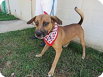 Shepherd (Unknown Type) Mix Dog for adoption in Laingsburg, Michigan - Denver