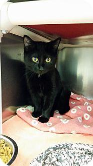 Domestic Shorthair Kitten for adoption in Chippewa Falls, Wisconsin - Havanna